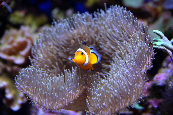 Saltwater clownfish in an anemone