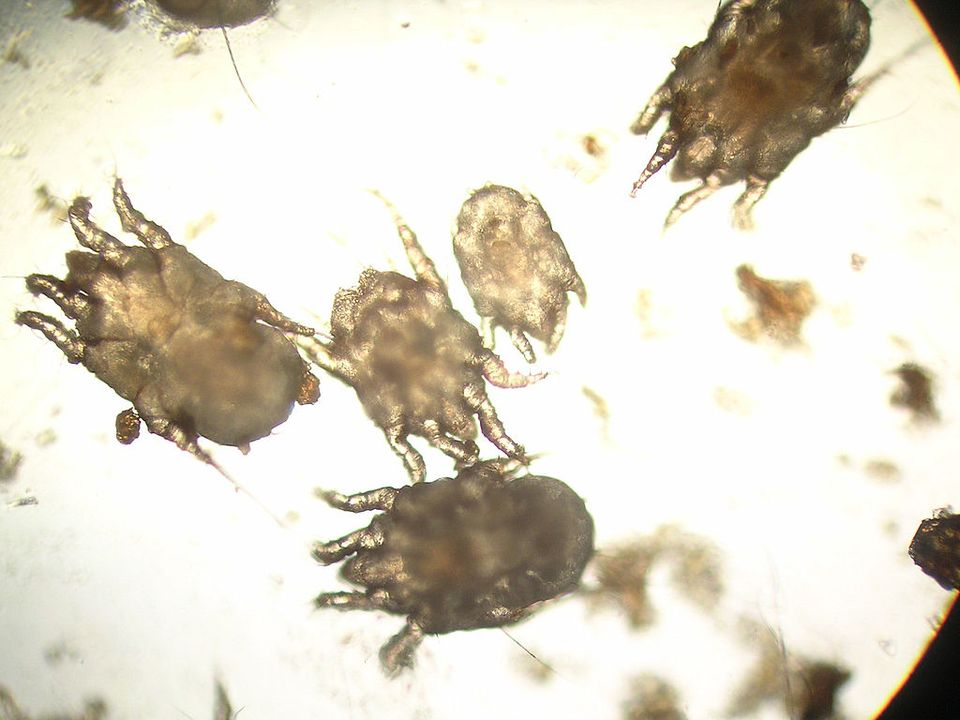 Otodectes bajo un microscopio.