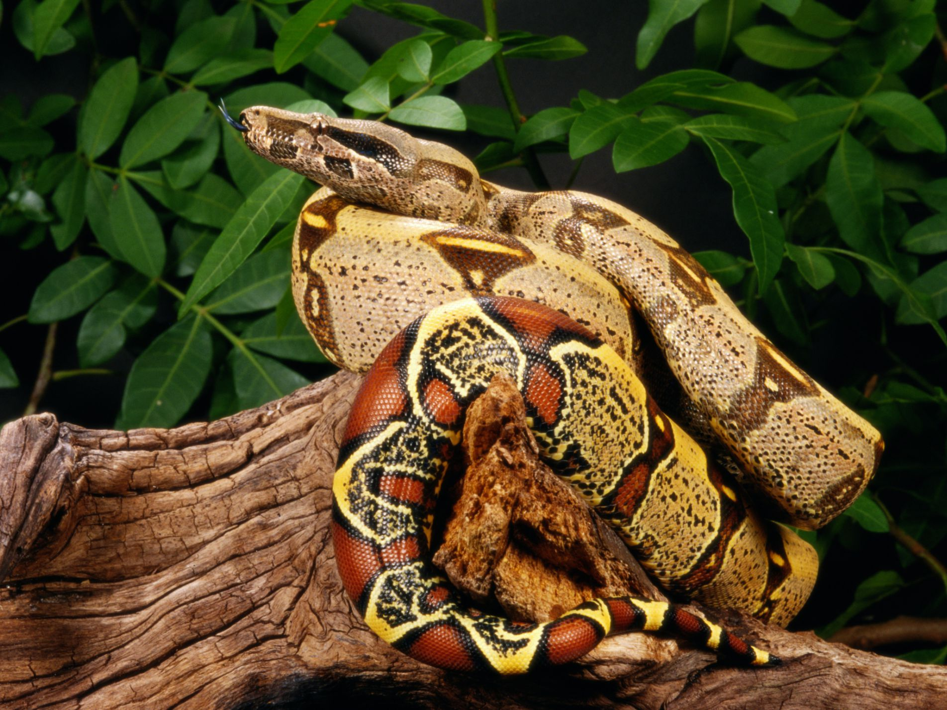 How To Care For A Pet Red Tail Boa
