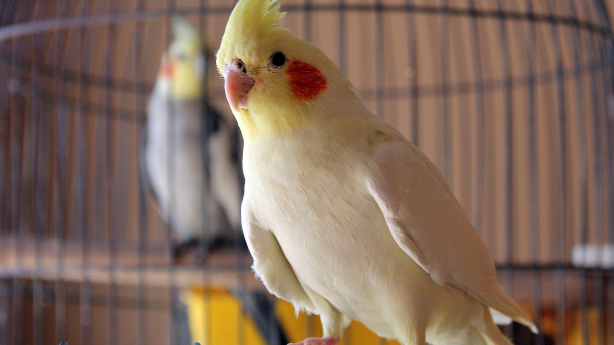 Consider Before Getting a Pet Bird