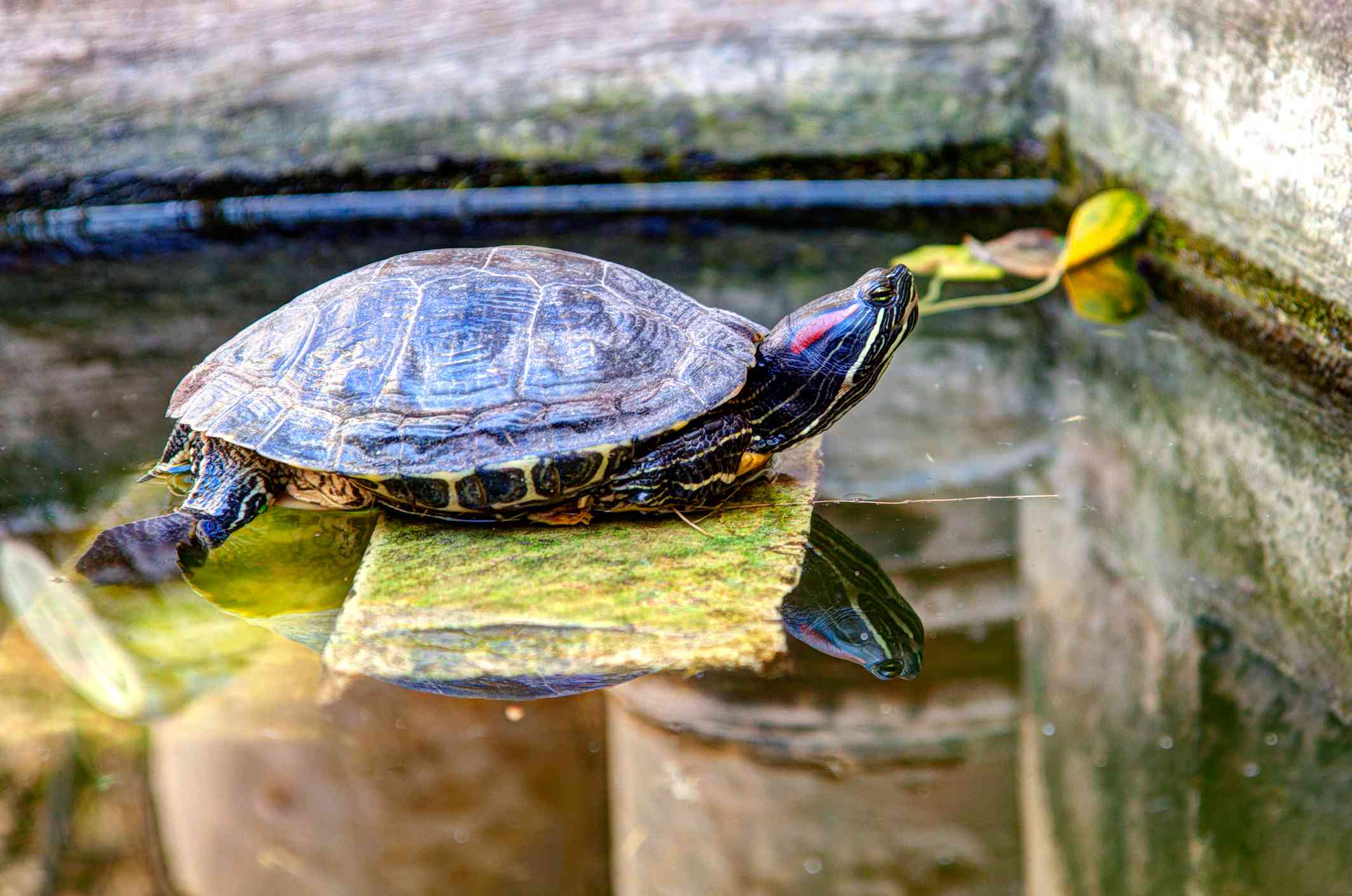 Red Eared Slider Turtle Basking on a stone