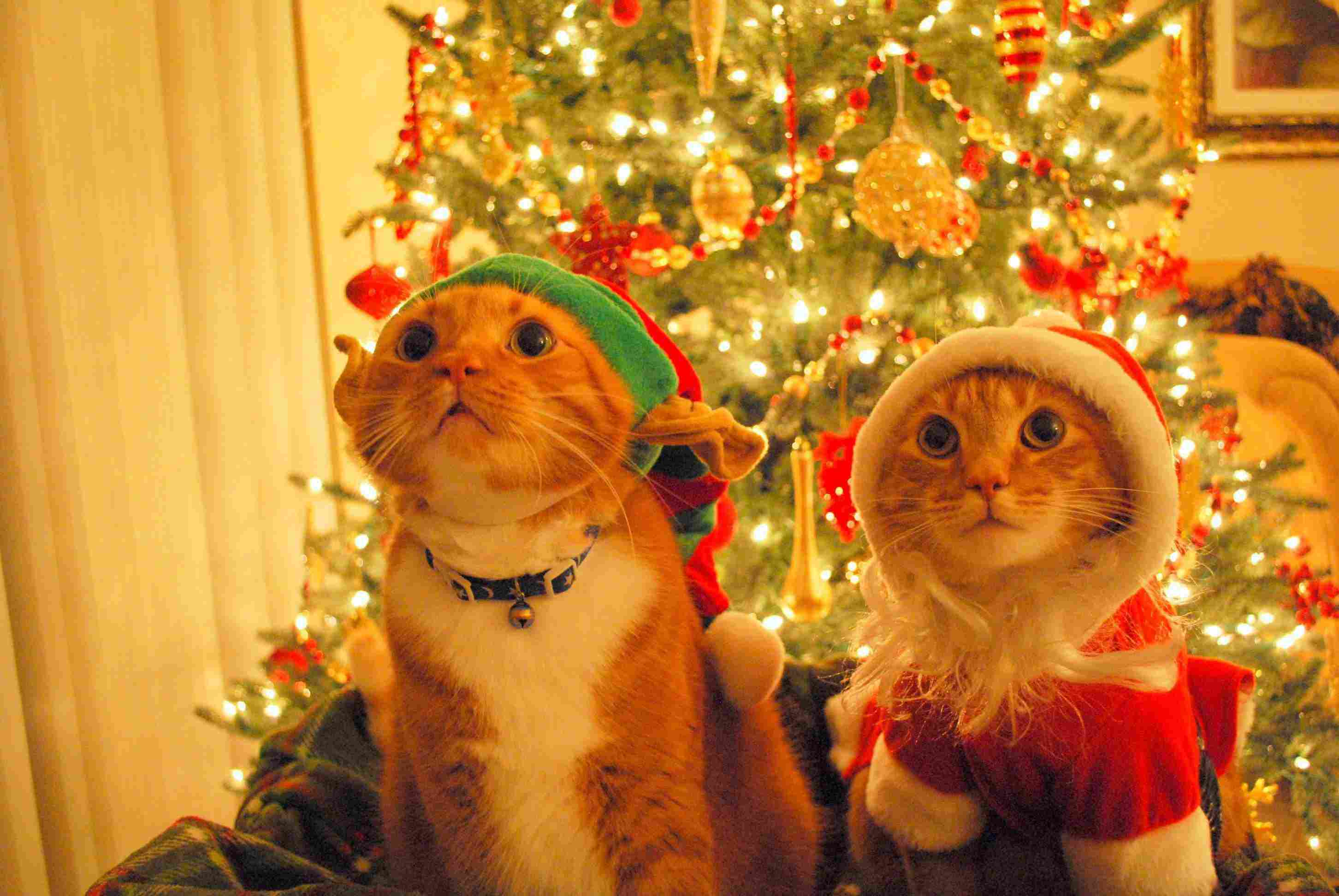 Cat Christmas.13 Cats Who Love Christmas