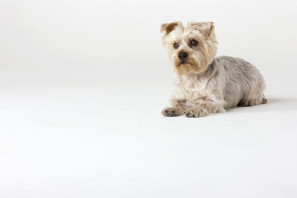 Portrait of Yorkshire Terrier sitting