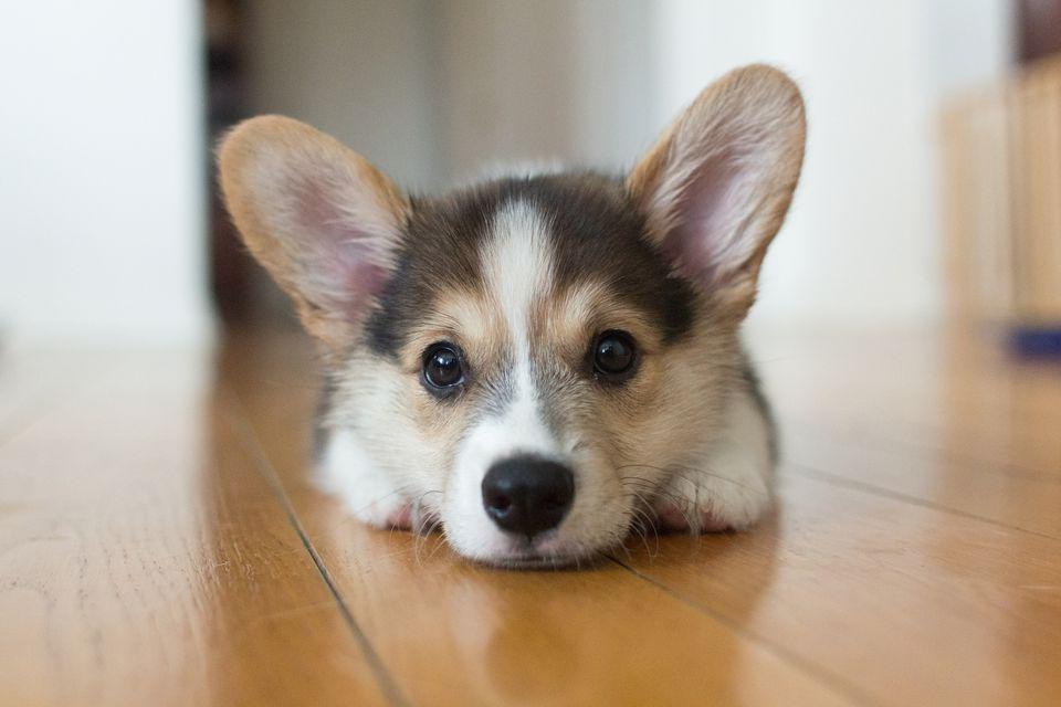 Corgi puppy on wood floor