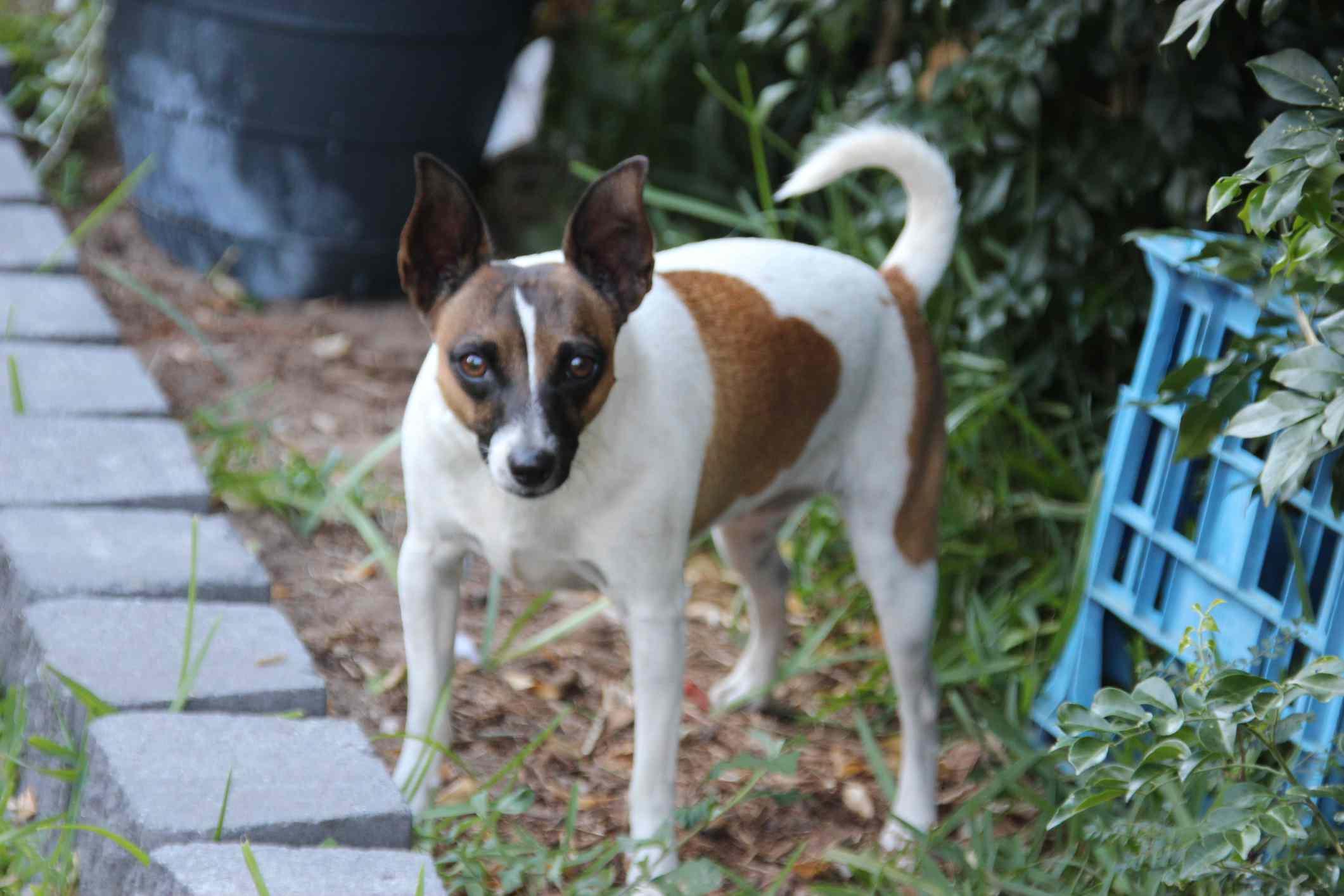 Tenterfield terrier standing on grass