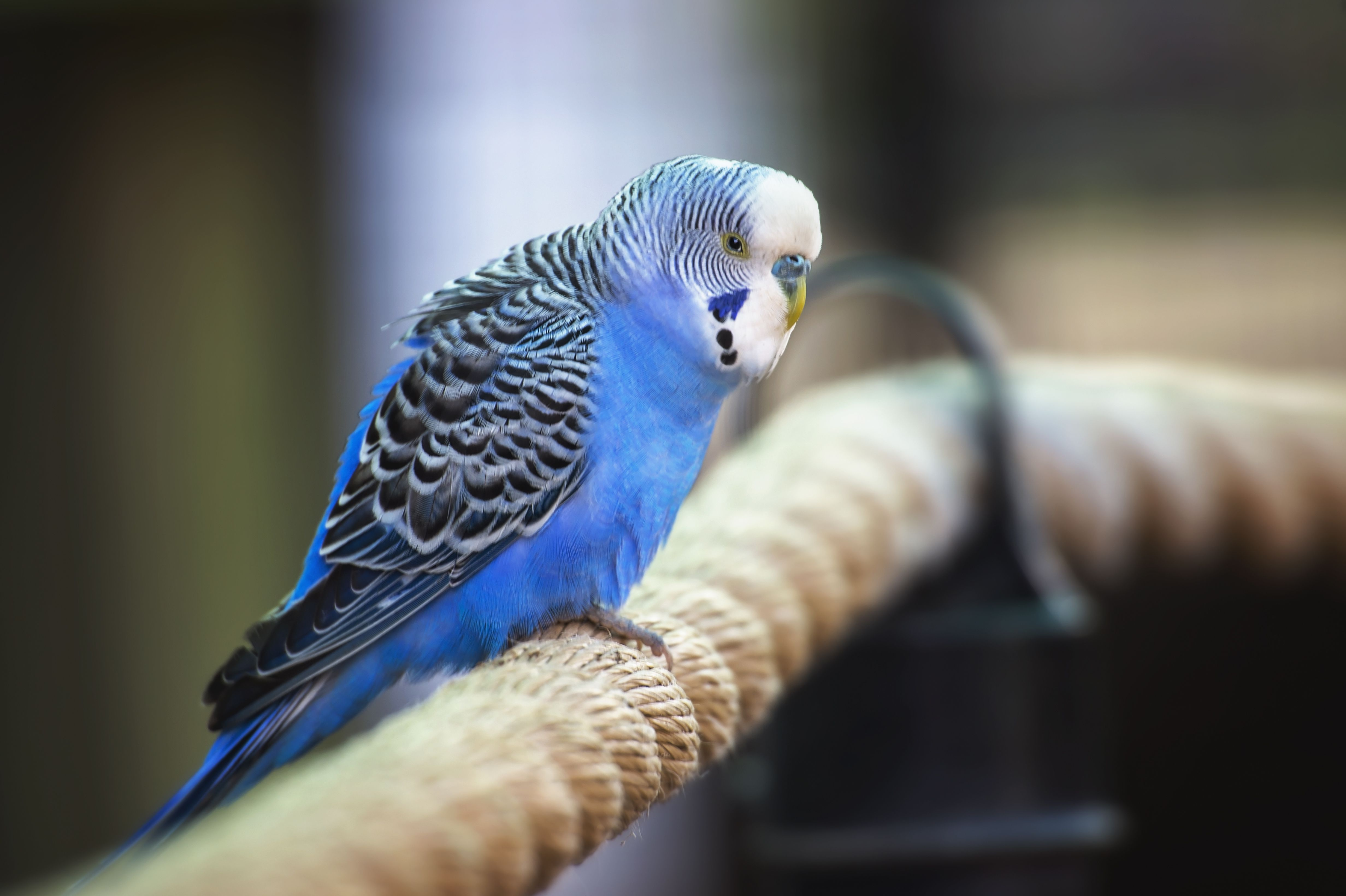 are there different types of parakeets