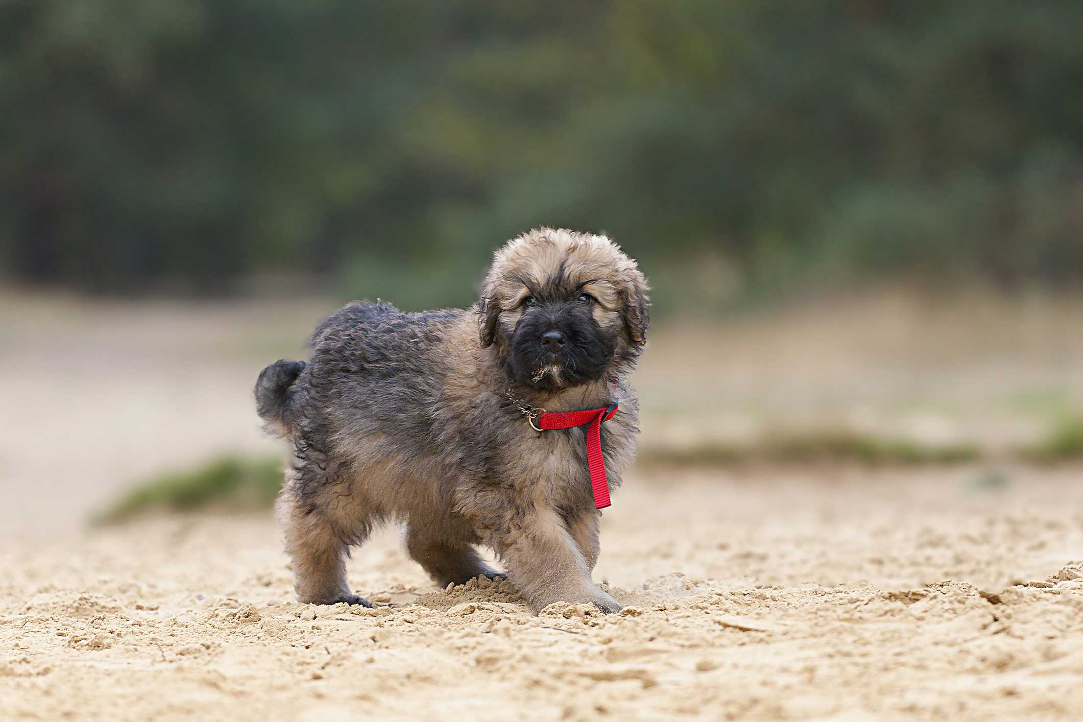 Bouvier des Flandres puppy