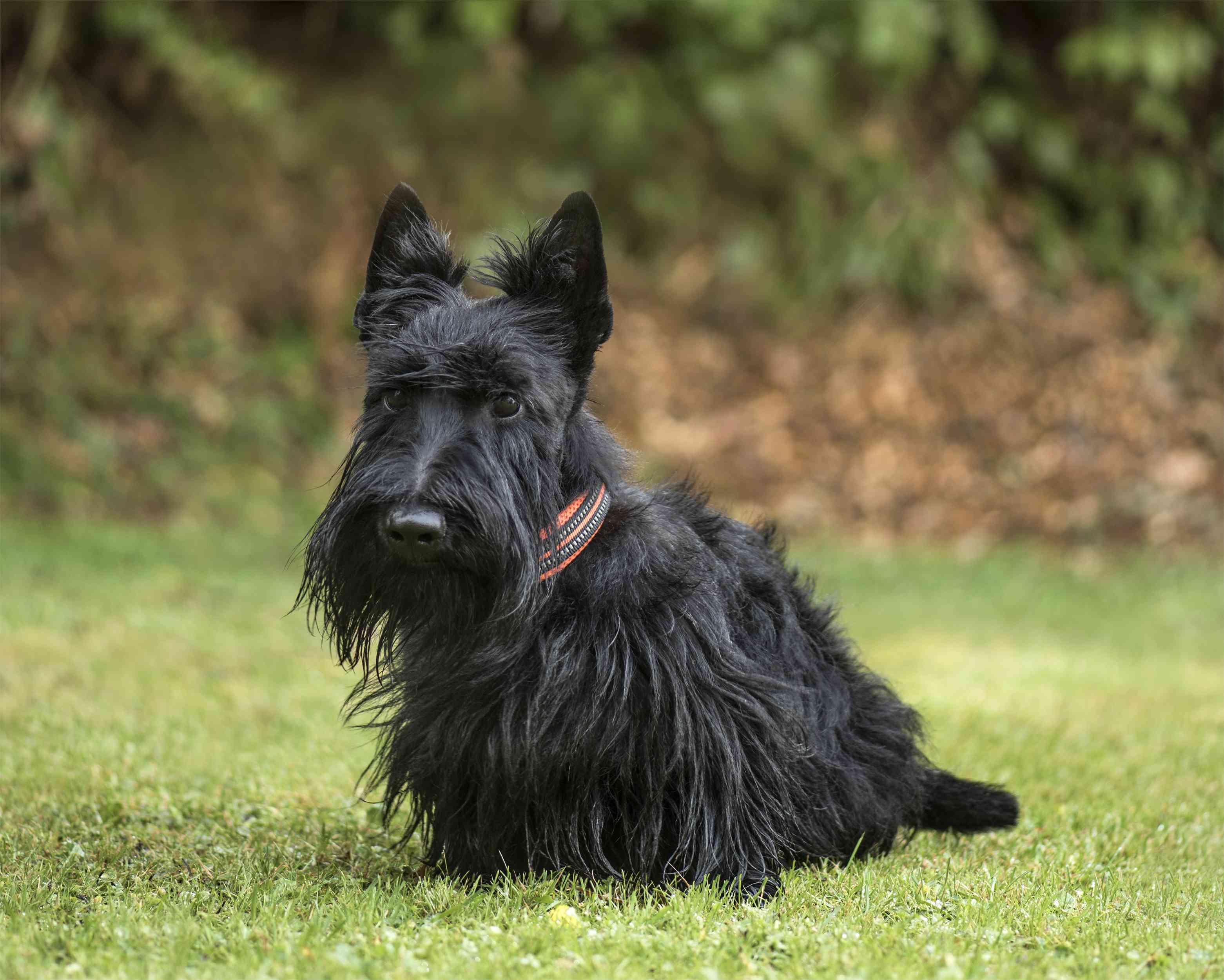 Scottish terrier outside; Scottish dog names