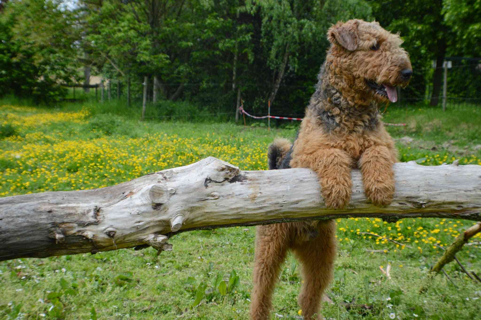 A Welsh Terrier with two paws up on a log