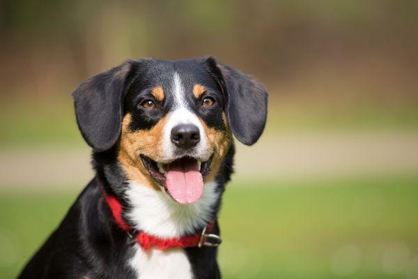 A Entlebucher Mountain Dog outdoors.