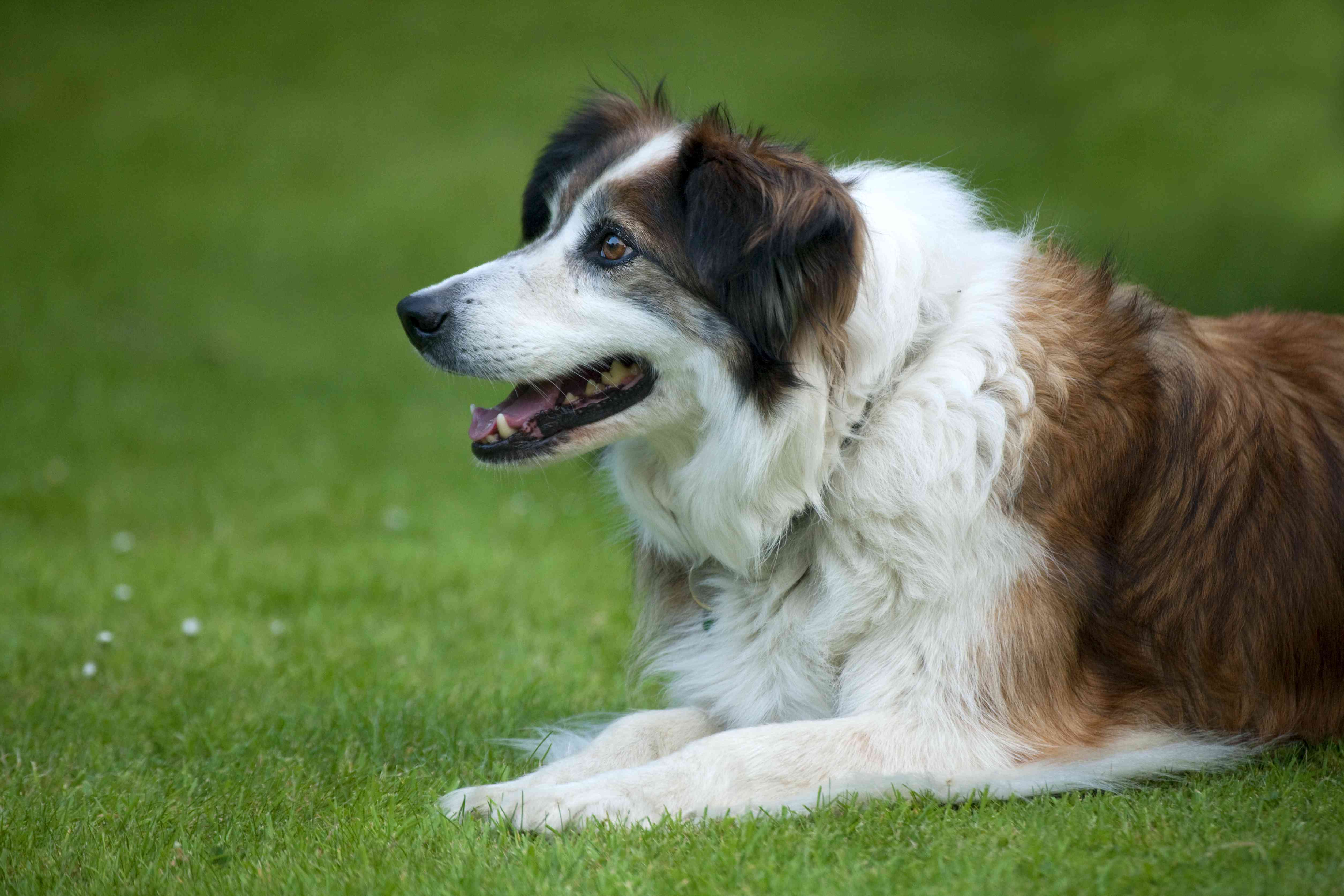 Welsh Border Collie dog lying on grass field