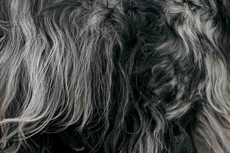 closeup of an English Cocker Spaniel's fur