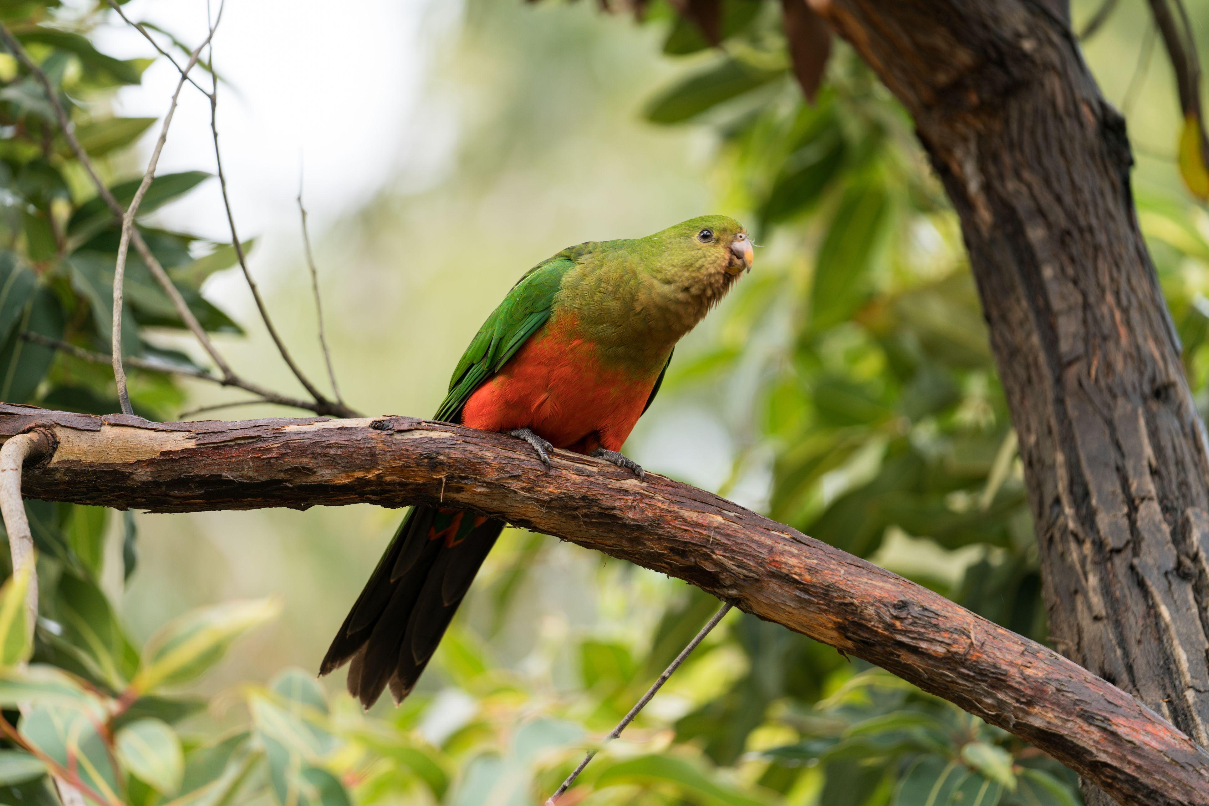 Female Australian king parrot