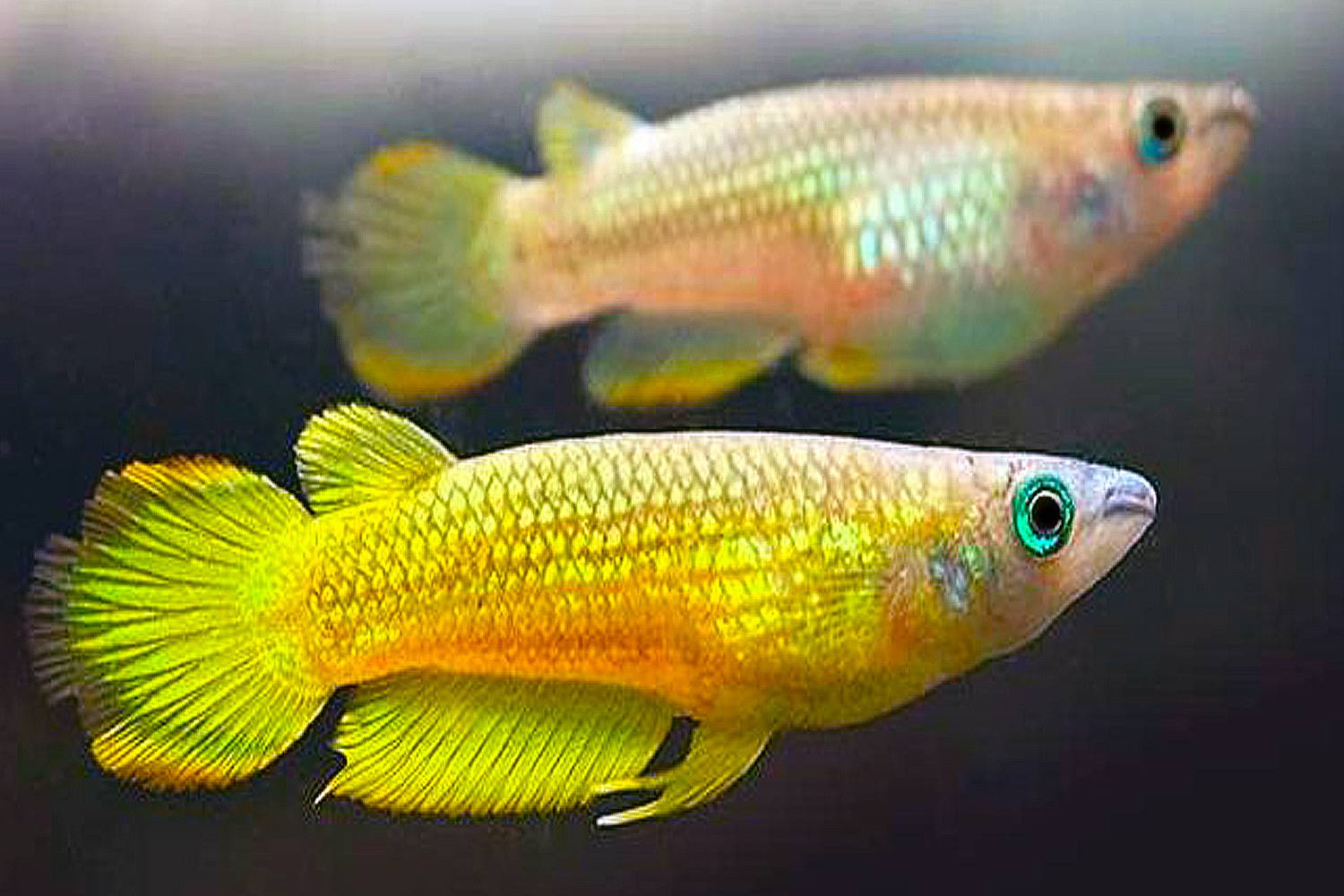 Two yellow Limeatus (Aplocheius lineatus) in water.