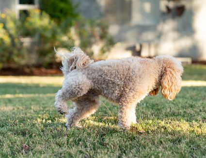 Small fluffy dog peeing on grass