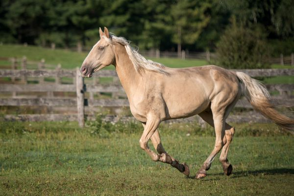 Tennessee Walking Horse cantering in a pasture