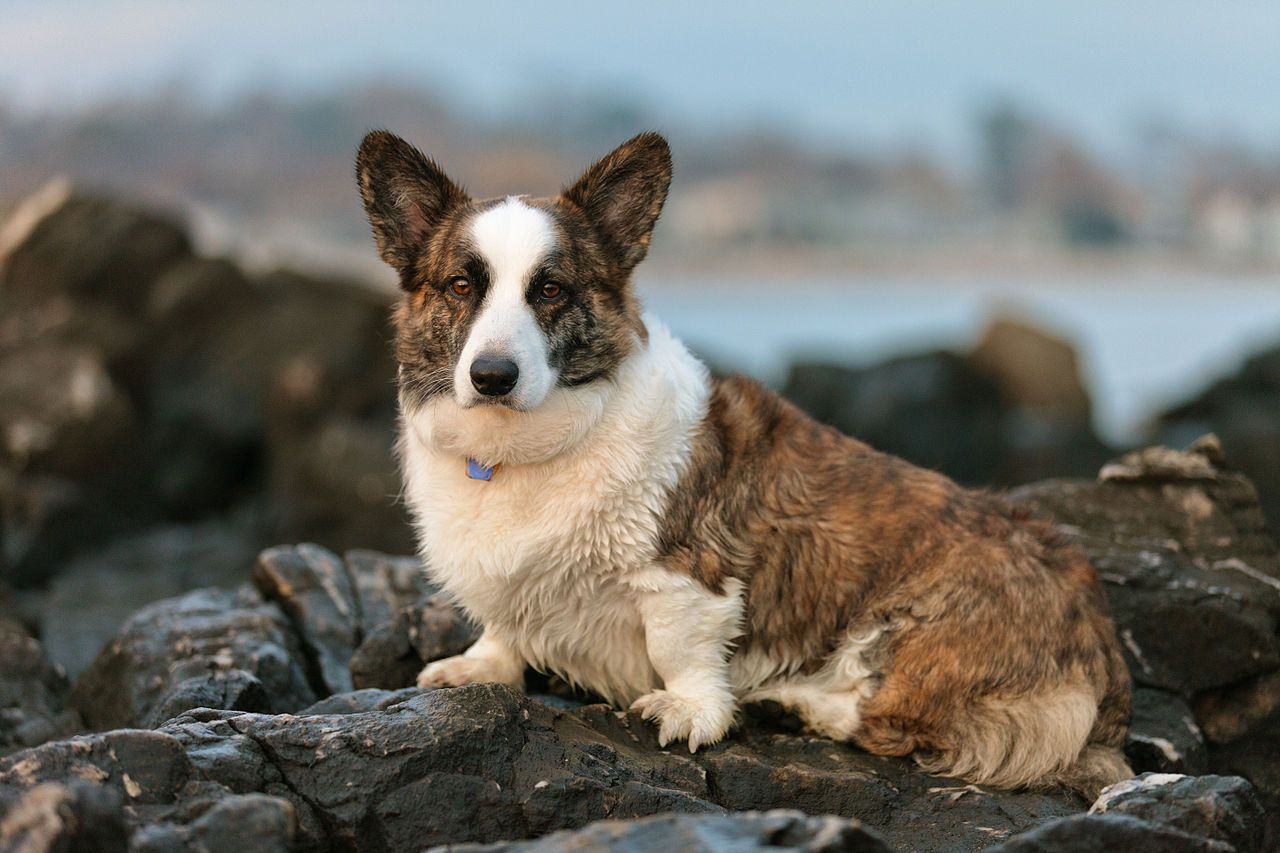 Welsh Cardigan Corgi on rocks at a beach
