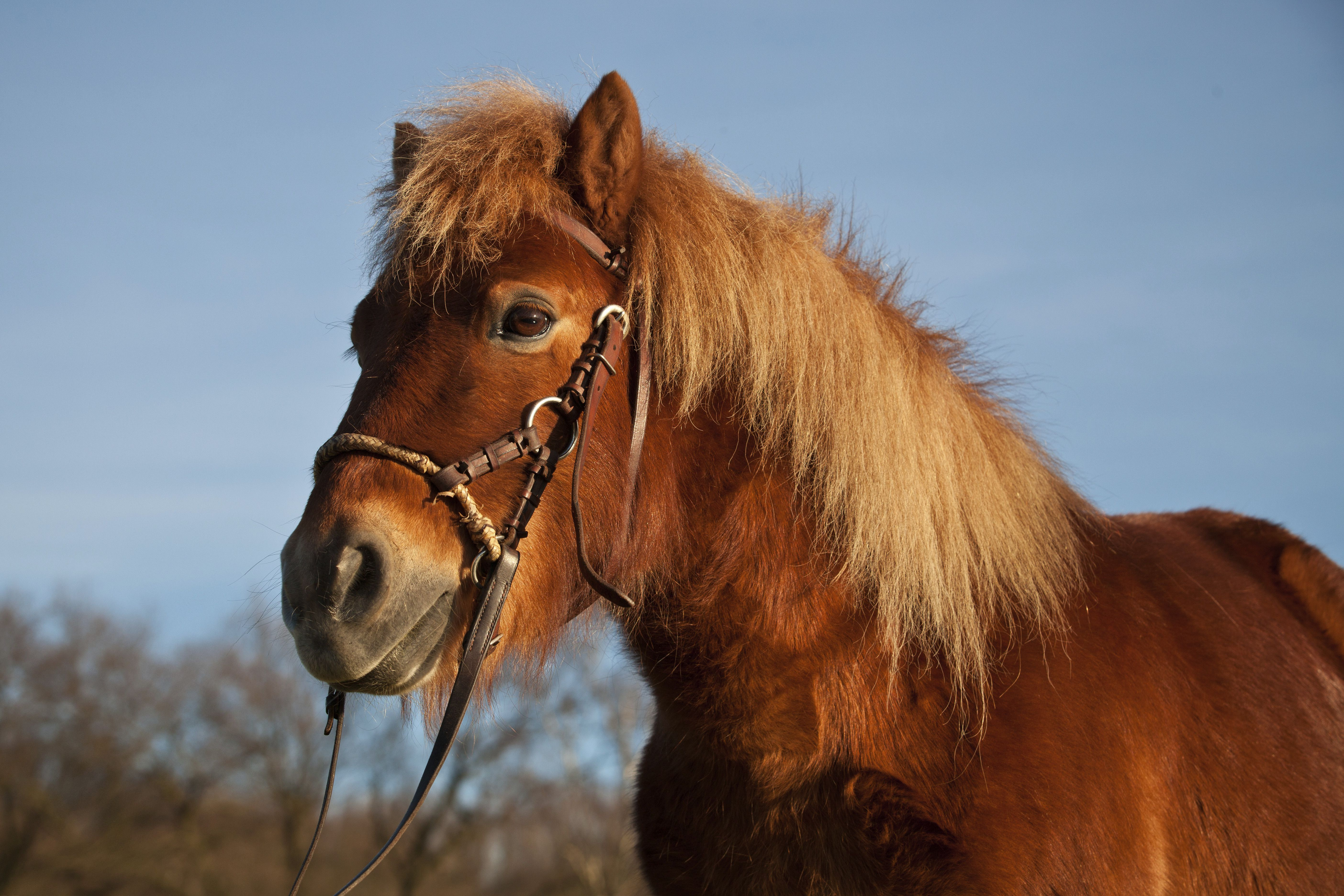 pony shetland castaño