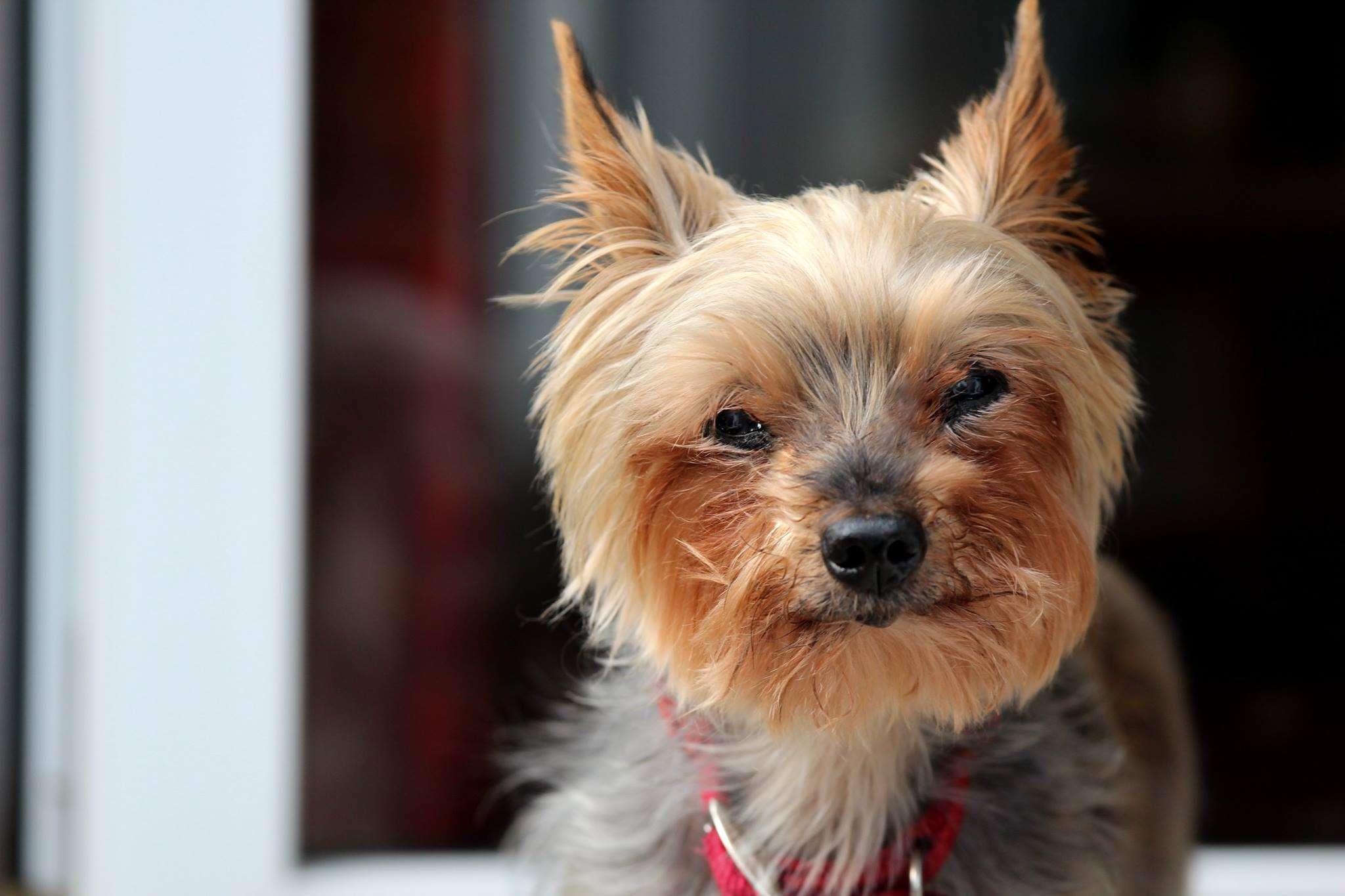 senior Yorkshire terrier , senior pomerania sonriendo , viejo shiba inu afuera , perro mayor de ganado australiano