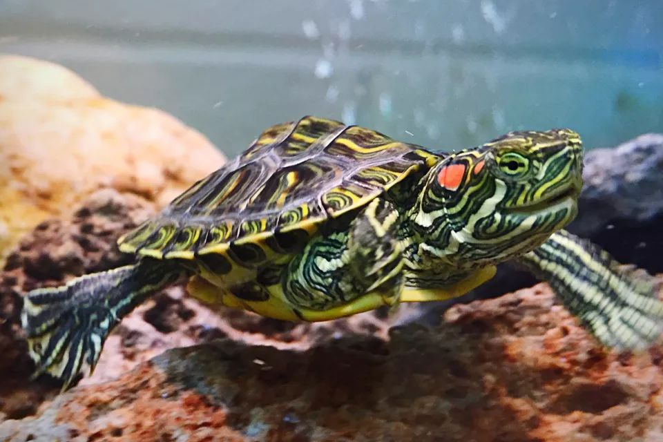 Choosing A Healthy Red Eared Slider