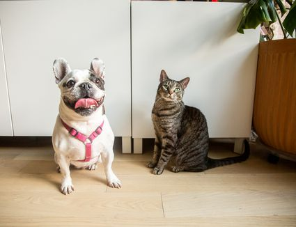 White bulldog with pink body collar next to brown and black striped cat