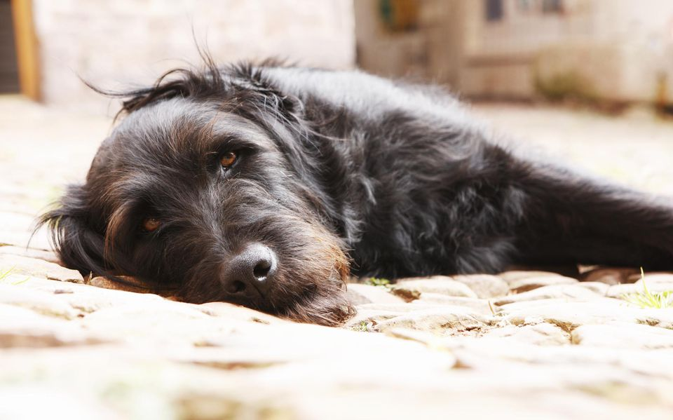 Portrait of a black dog lying in yard