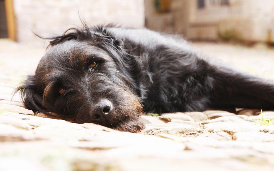 Retrato de un perro negro tumbado en el patio