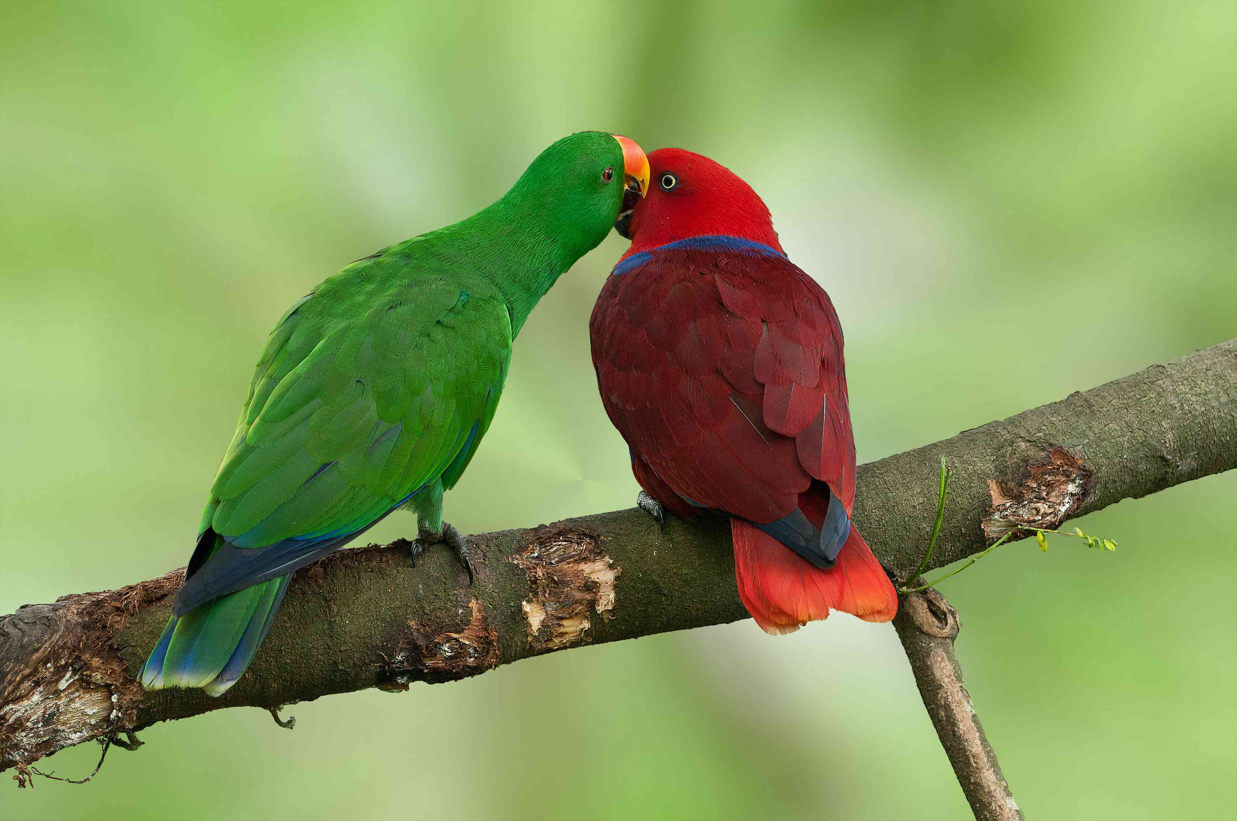 Eclectus parrots in a tree