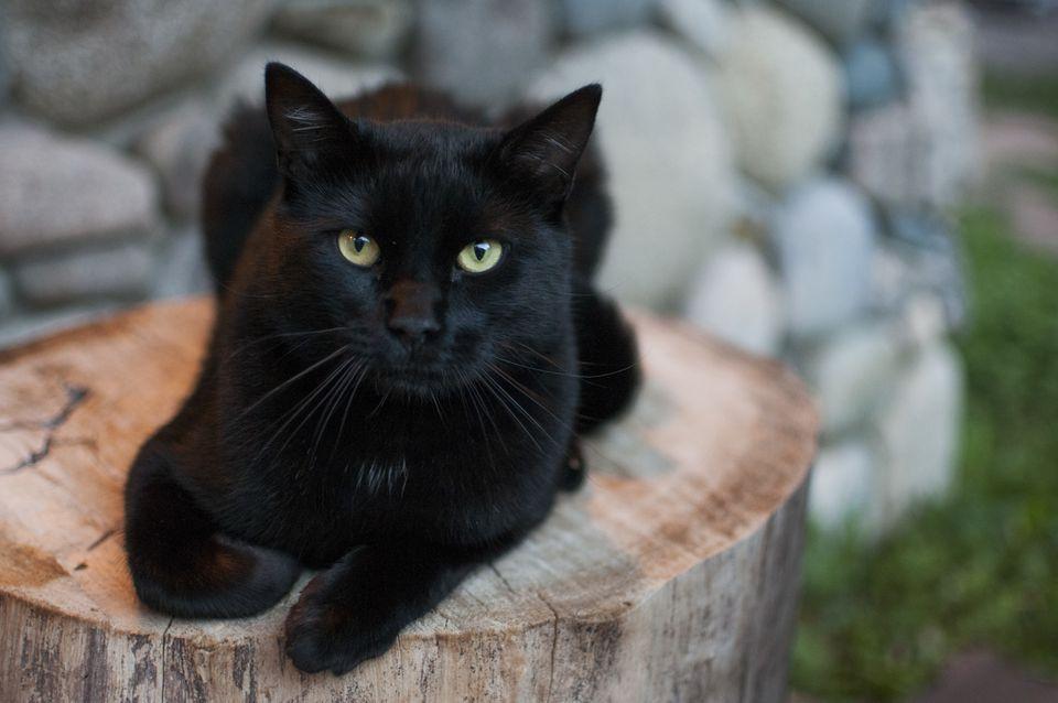 Gato negro en tocón de árbol