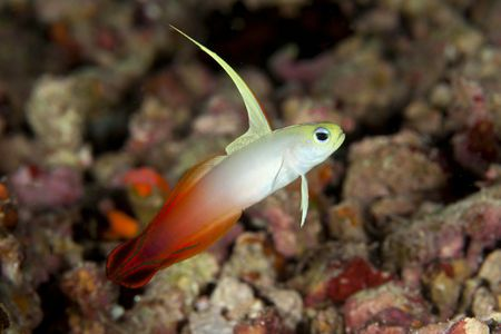 firefish goby fish breed profile
