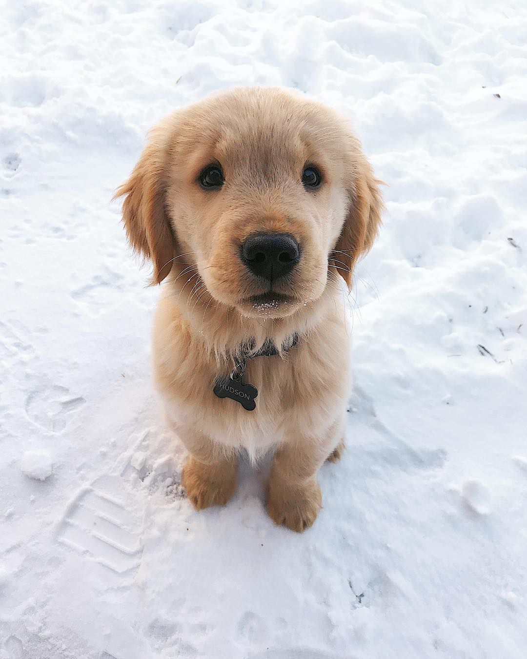 10 Cute Pictures of Golden Retrievers