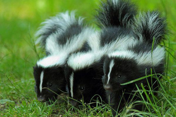 Three baby skunks on grass