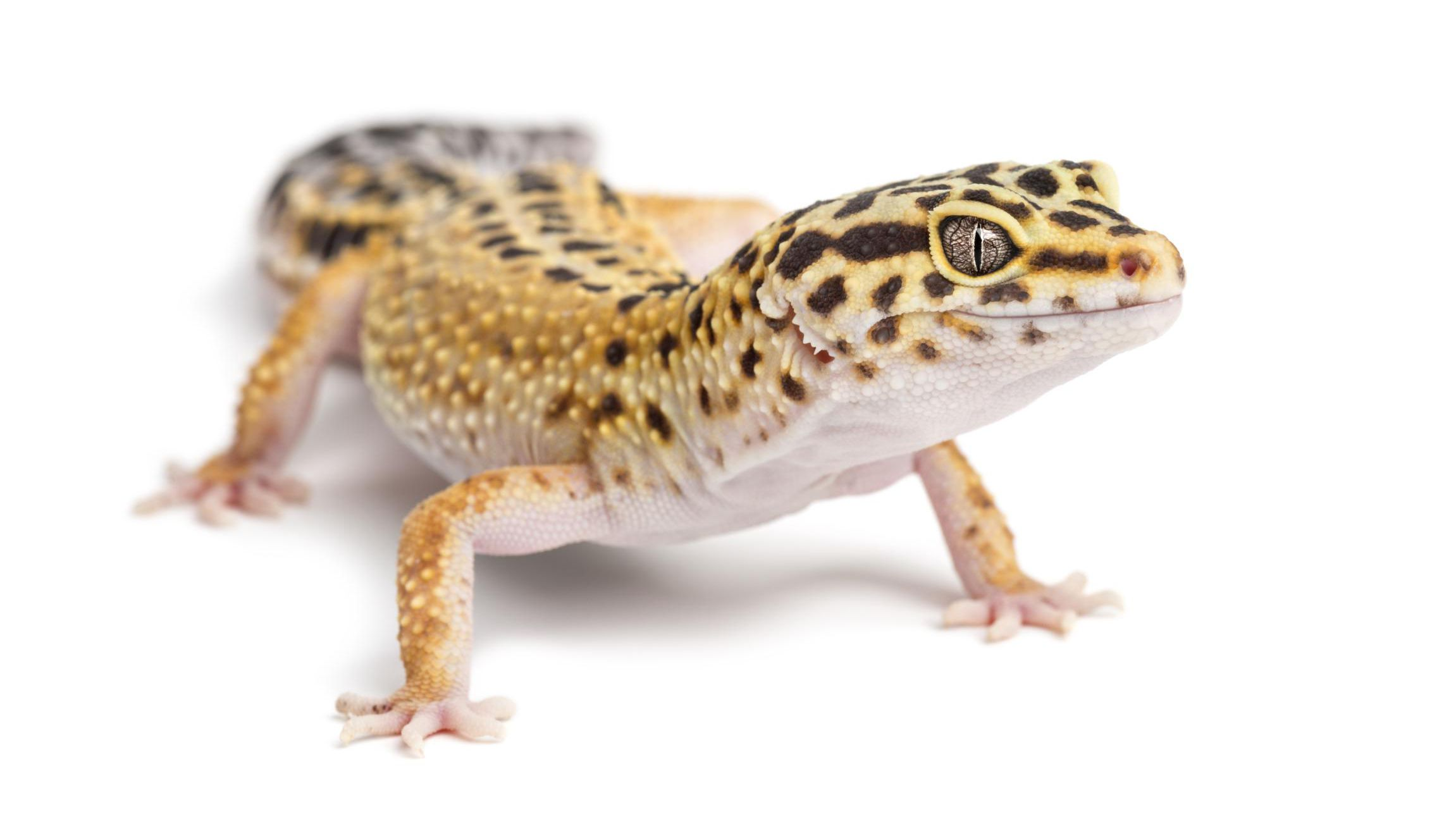 Astounding A Guide To Caring For Leopard Geckos Machost Co Dining Chair Design Ideas Machostcouk