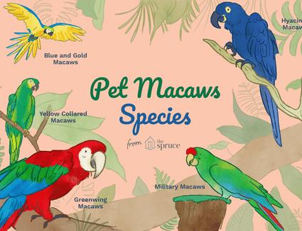 Illustration of popular pet macaw species