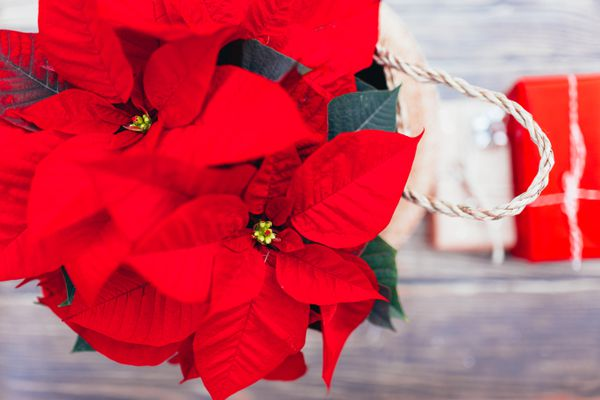 Top view of Vibrant red holiday Christmas pointsettia leaves