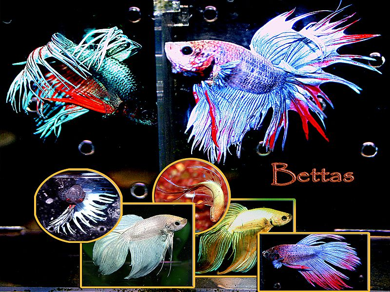 The Betta, Care, Success, Myths and History