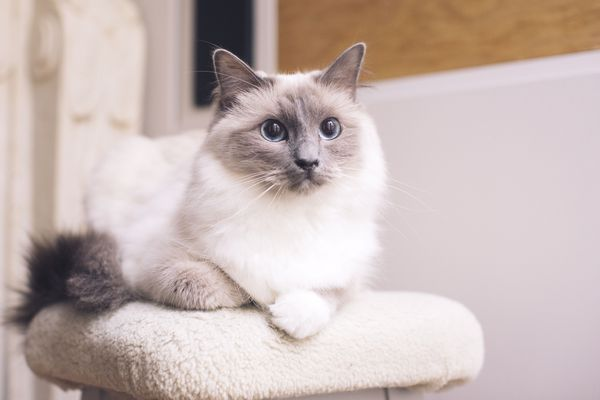 A white fluffy cat with grey markings on its tail, ears, and face sitting on a white cat tree.