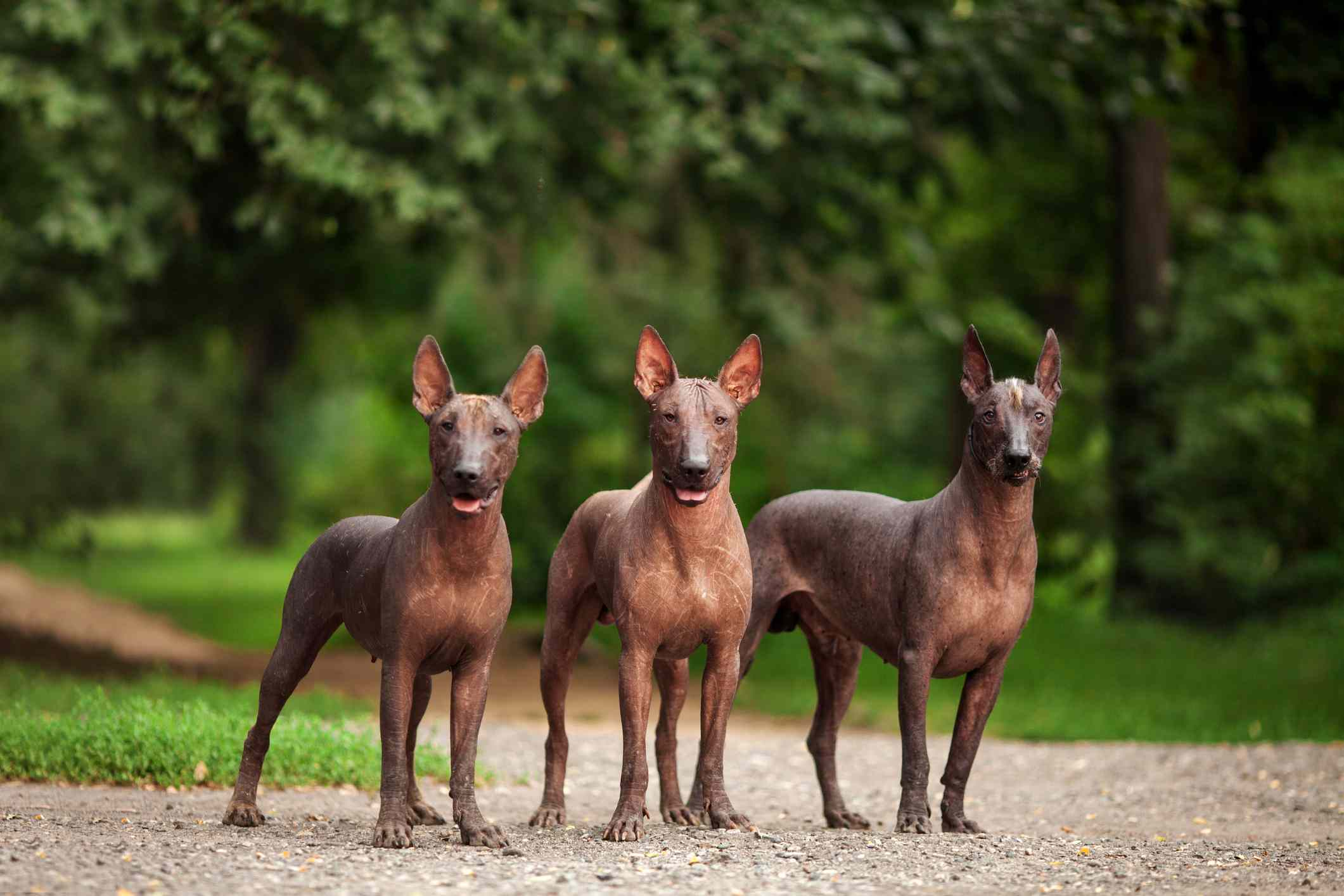 Xoloitzcuintli (Mexican Hairless Dog) Mexican Hairless Dog by thevetscare.com