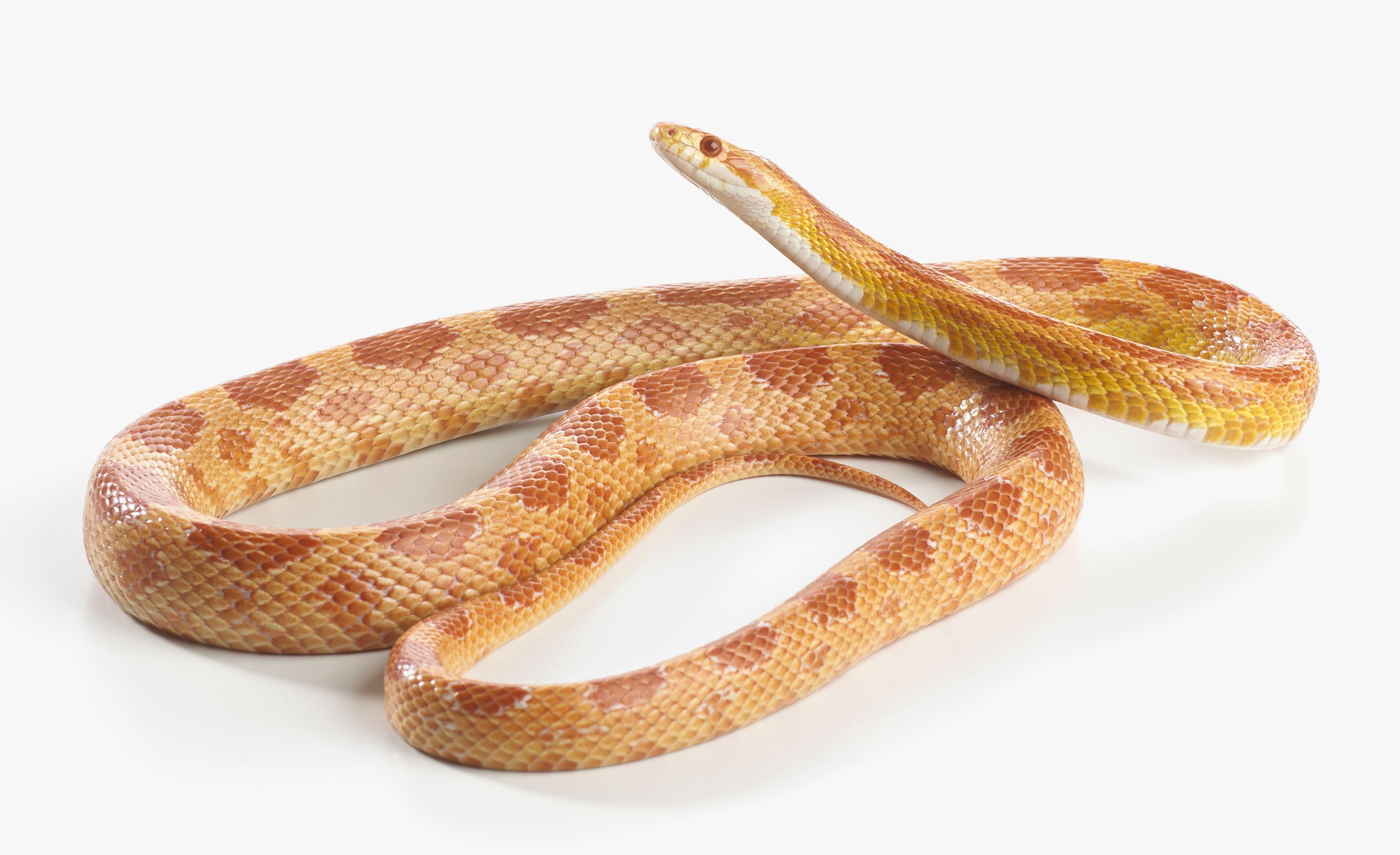 Serpiente de maíz Sunglow, Serpiente de maíz Sunglow (Pantherophis guttatus)