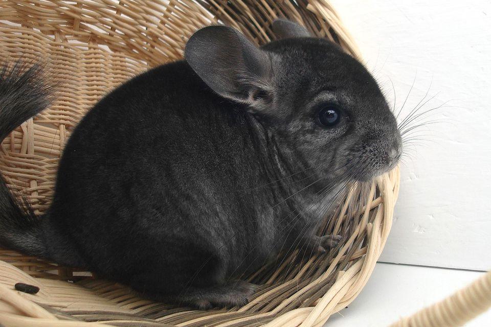 Chinchilla gris oscuro sentado en una canasta