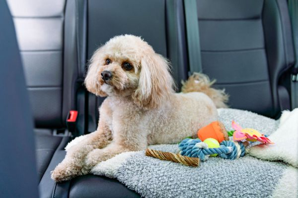 Small dog sitting in backseat of car with blanket and toys