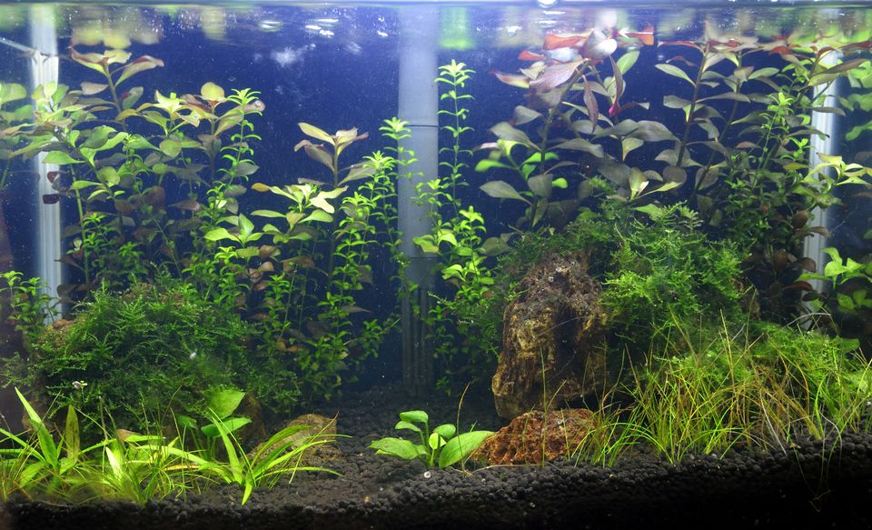 Aquascaping of the planted freshwater aquarium
