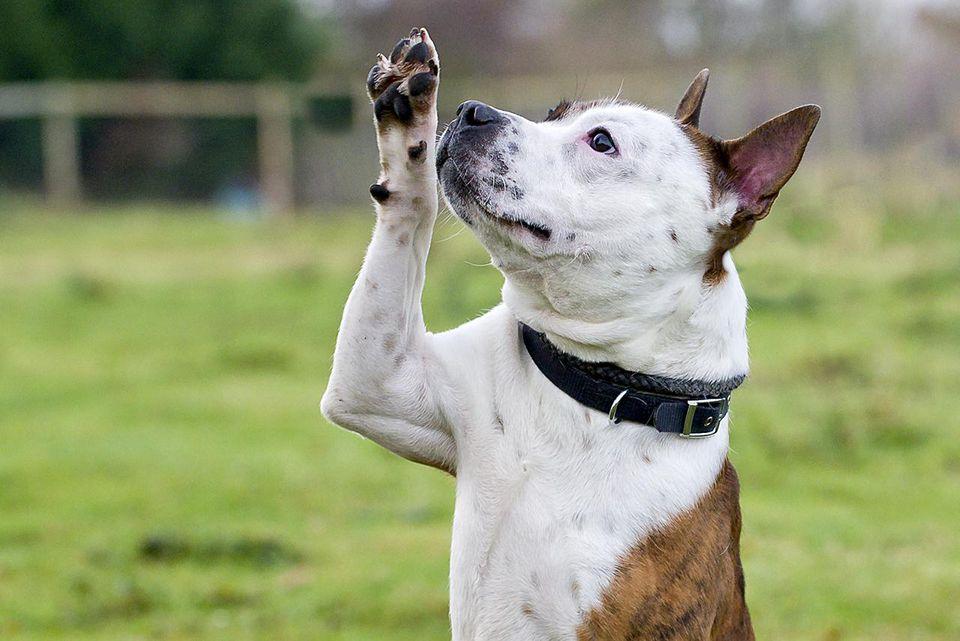 como entrenar a un perro para que salude