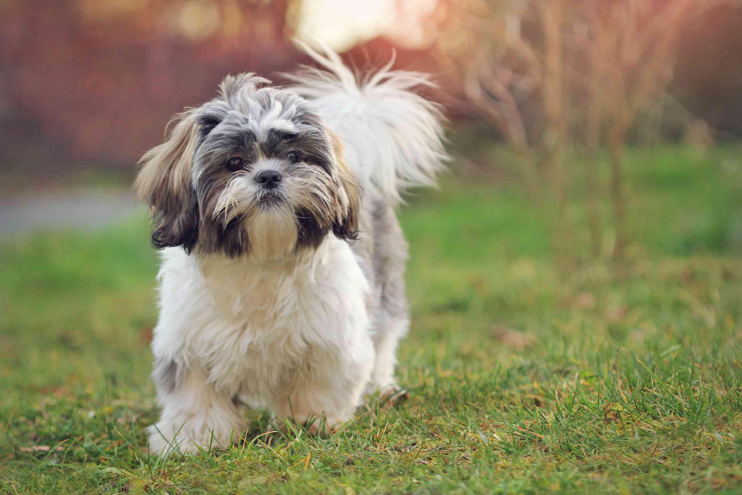 A small, shaggy Shih Tzu dog running in the grass.