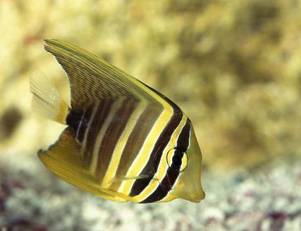 Striped sailfin tang