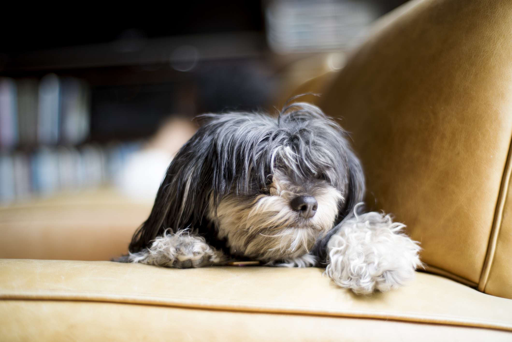 Gray and white Havanese dog lying on leather couch.