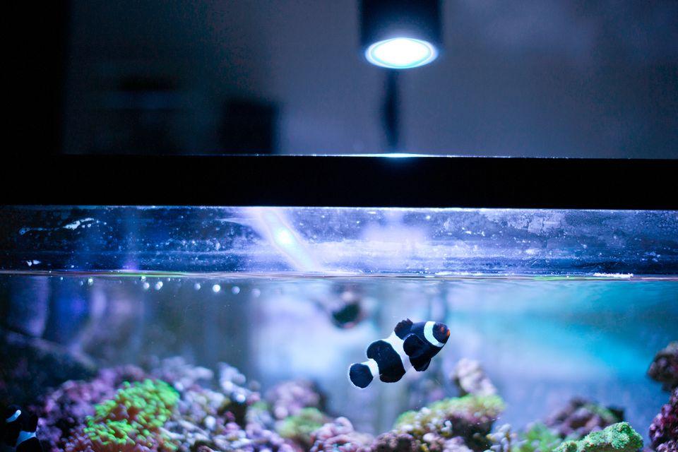 Pez payaso blanco y negro en acuario marino