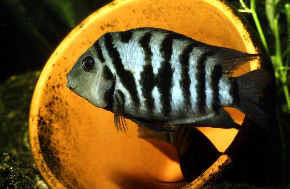 Male convict cichlid