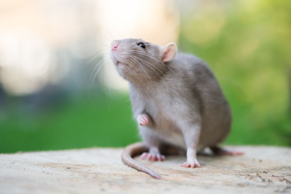 rata mascota gris posando al aire libre en verano