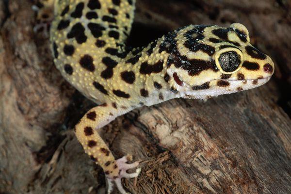 Leopard gecko close-up on a log